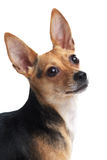 Toy terrier. Portrait of little dog (toy terrier) isolated on white Stock Images