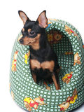 Toy terrier in a basket. A russian toy terrier sitting in a green basket Stock Photo