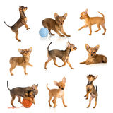 Toy terrier collection isolated Stock Images