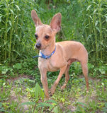 The toy terrier costs on the earth Royalty Free Stock Images