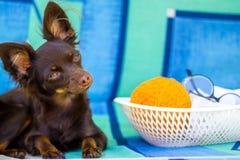 Toy Terrier die camera bekijken royalty-vrije stock foto