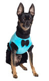 Toy terrier dog Stock Images