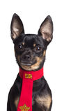Toy terrier dog Stock Photography