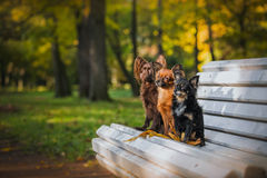 Toy terrier dog in the autumn on the nature royalty free stock photos