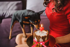 Toy terrier dog eating cake with candle from womans hands Royalty Free Stock Images