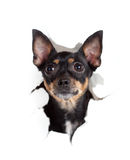 Toy terrier dog in paper side torn hole Stock Images