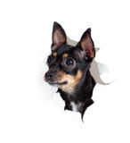 Toy terrier dog in paper side torn hole isolated Stock Photo