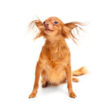 Toy terrier dog. Royalty Free Stock Photography