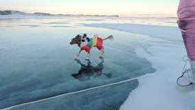 Toy Terrier en ropa divertida y zapatos divertidos juega con la bola en el hielo hermoso en grietas Mamá e hija en deportes metrajes