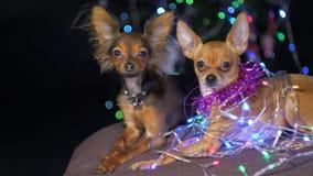 Toy Terrier es un perro amarillo del ` s del Año Nuevo Fotos de archivo libres de regalías