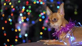 Toy Terrier es un perro amarillo del ` s del Año Nuevo Imagenes de archivo