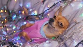 Toy Terrier es un perro amarillo del ` s del Año Nuevo Fotografía de archivo libre de regalías