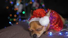 Toy Terrier es un perro amarillo del ` s del Año Nuevo