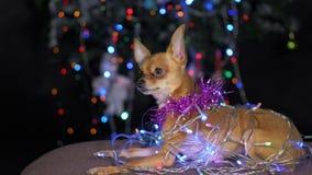 Toy Terrier est un chien jaune du ` s de nouvelle année Photos libres de droits