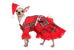 Toy terrier in fashion Santa Costume. On a white background Royalty Free Stock Image