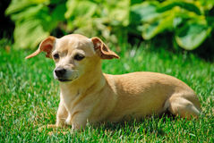 Toy terrier girl Royalty Free Stock Image