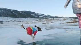 Toy Terrier in grappige kleren en grappige schoenenspelen met bal op mooi ijs in barsten Mamma en dochter in sporten stock footage