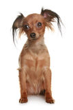 Toy terrier isolated on white background. Long-haired russian terrier on white background stock photography