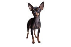 Toy Terrier isolated on white background Stock Photos