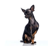 Toy terrier isolated on white Royalty Free Stock Photos