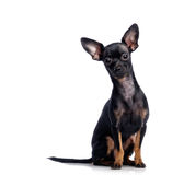 Toy terrier isolated on white Stock Photography