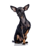 Toy terrier isolated on white Stock Images