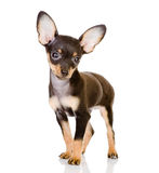Toy Terrier looking at camera. Stock Photos