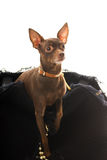 Toy terrier in a luxury bag Royalty Free Stock Images