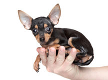 Toy Terrier in a mans hand Royalty Free Stock Photography