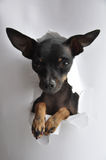 Toy Terrier Paper Royalty Free Stock Photos