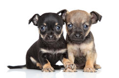Toy Terrier puppies Stock Images