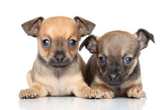 Toy Terrier puppies on a white background Stock Image