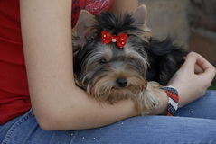 Toy terrier puppy. Close up of toy terrier puppy on the owners lap, waiting her tern in international dog show Royalty Free Stock Photo
