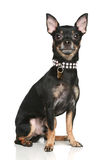 Toy terrier puppy Royalty Free Stock Image