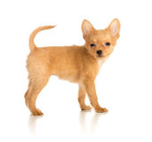 Toy terrier puppy Royalty Free Stock Images