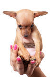 Toy terrier puppy Stock Photo