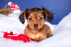 Toy terrier puppy in Christmas decor Royalty Free Stock Images
