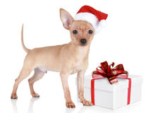 Toy terrier puppy in christmas hat with gift Stock Photo