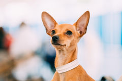 Toy Terrier Puppy Dog Close acima do retrato imagens de stock royalty free