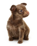 Toy terrier puppy isolated Royalty Free Stock Images