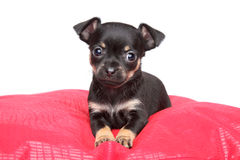 Toy terrier puppy on red pillow Royalty Free Stock Photos