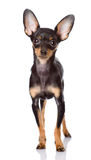 Toy Terrier puppy standing in front. Stock Photos