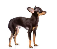 Toy Terrier puppy standing in profile. Royalty Free Stock Photography