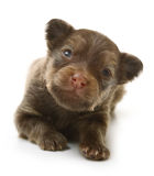 Toy terrier puppy, two weeks old isolated Royalty Free Stock Photo