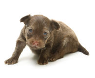 Toy terrier puppy, two weeks old isolated Stock Photos