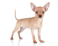 Toy terrier puppy on a white background Stock Images