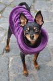Toy Terrier in purpere doeken stock foto