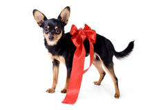 Toy-terrier with a red ribbon Royalty Free Stock Image