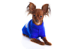 Toy terrier. Russian toy terrier on a white background. Funny li Stock Images