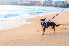 Toy terrier by the sea Royalty Free Stock Image